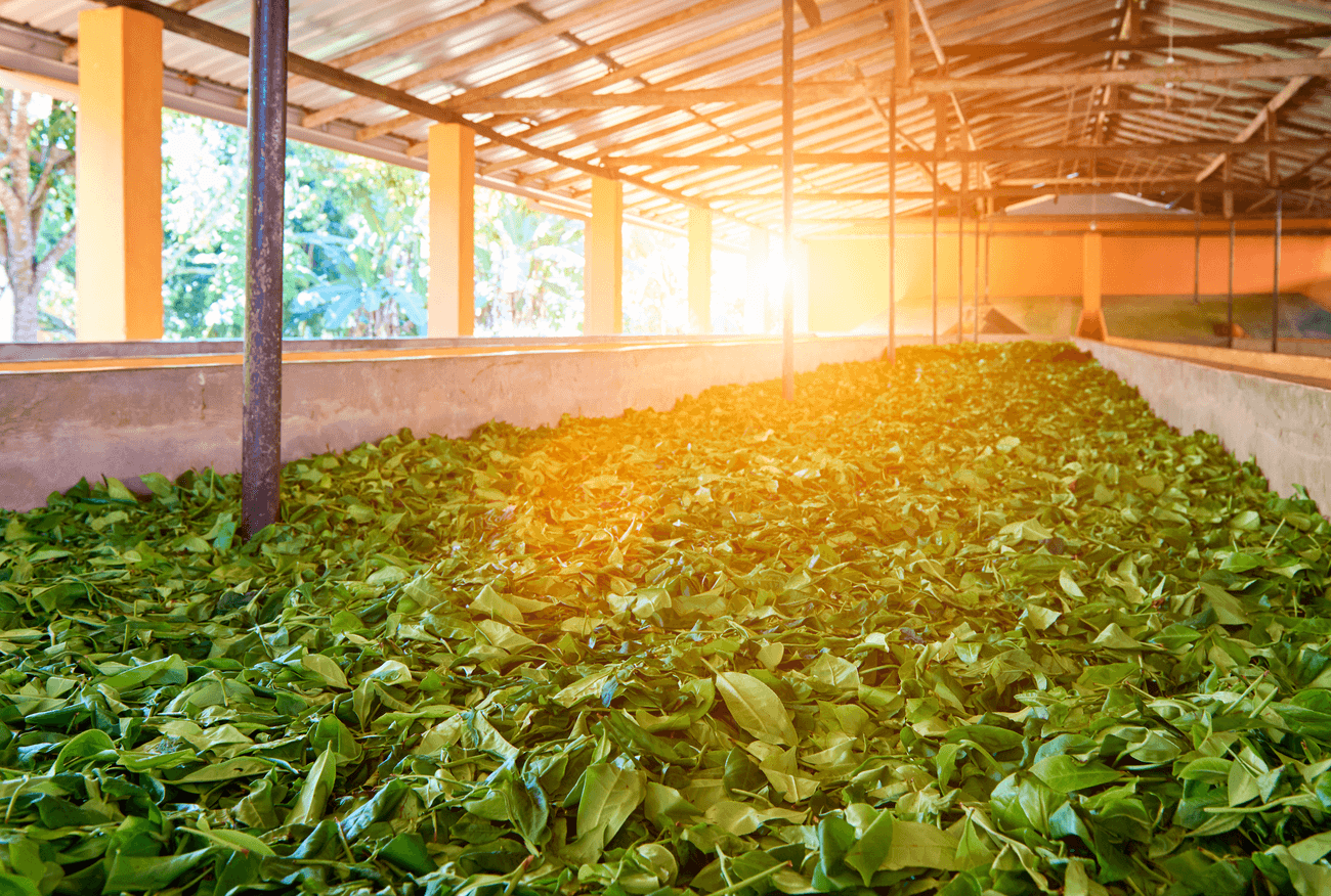 kratom factory production drying process