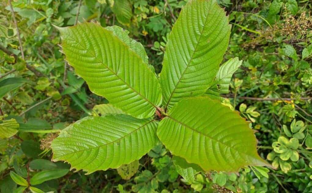 Kratom Strauch Blätter günstig mit roten Adern